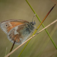 Chester Zoo conservationists return large heath butterflies to the wild
