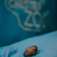 Conservationists at Chester Zoo save tiny snails from extinction (9)