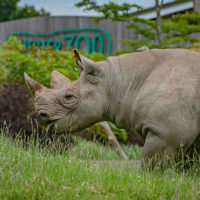 Critically endangered Eastern black rhino at Chester Zoo