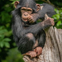 Critically endangered Western chimpanzee at Chester Zoo