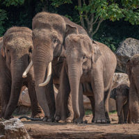 Endangered Asian elephants at Chester Zoo