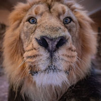 Endangered Asiatic lion at Chester Zoo