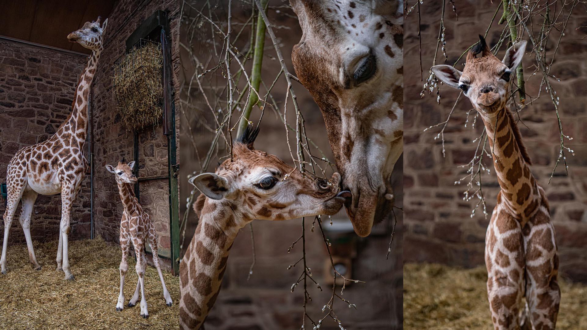 Cameras capture incredible moment rare giraffe is born at Chester Zoo