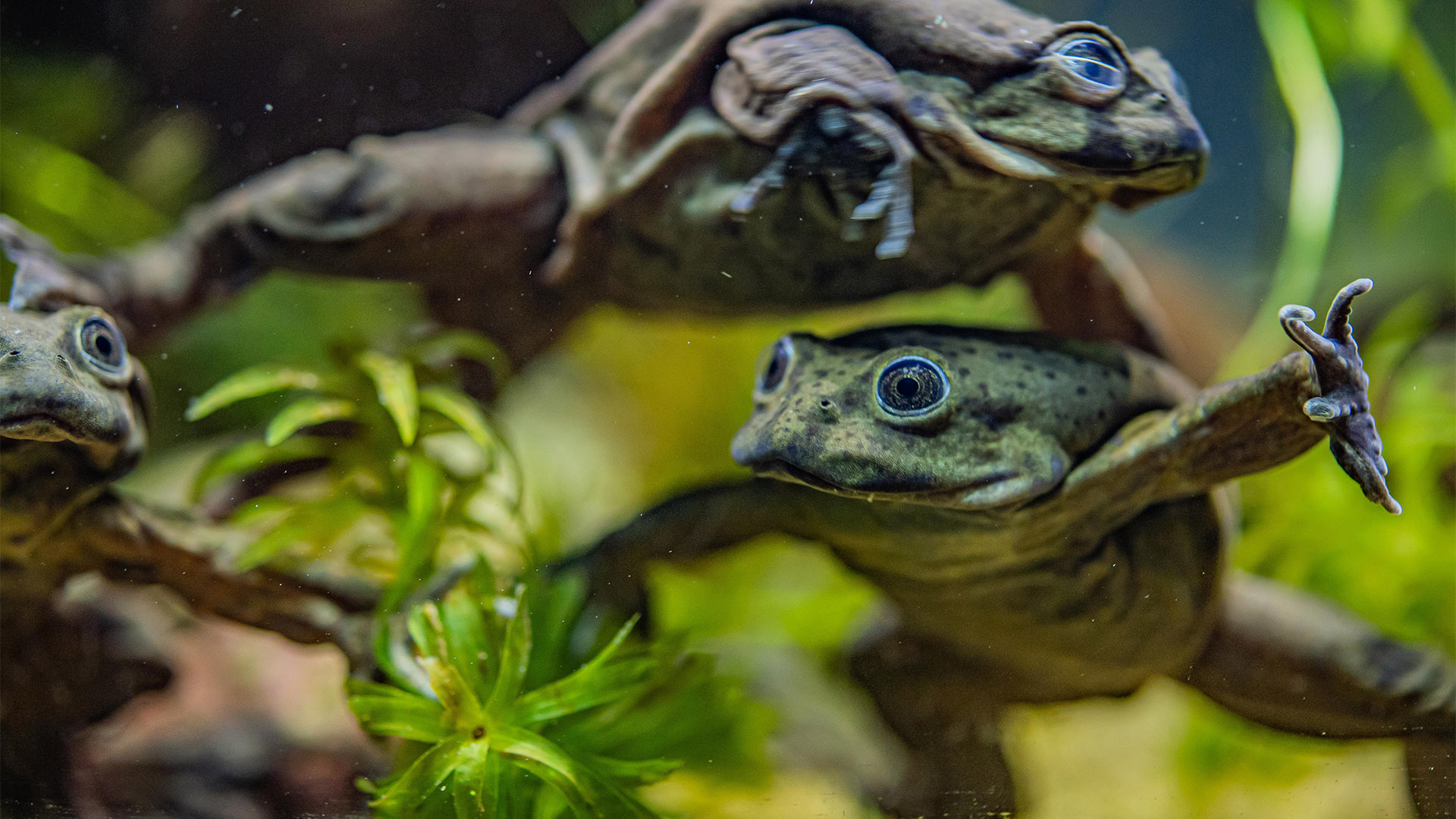 Rare 'scrotum' frogs on the edge of extinction go on display at Chester Zoo